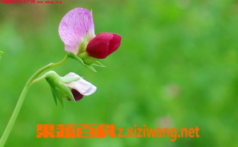 果蔬百科豌豆苗